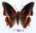 (Charaxes eudoxus mechowi - BC-EV0947)  @15 [ ] Unspecified (default): All Rights Reserved  Unspecified Unspecified