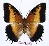 (Charaxes pollux - BC-EV0949)  @14 [ ] Unspecified (default): All Rights Reserved  Unspecified Unspecified