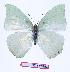 (Charaxes schiltzei - BC-EV0957)  @14 [ ] Unspecified (default): All Rights Reserved  Unspecified Unspecified