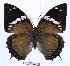 (Charaxes tiridates tiridatinus - BC-EV0960)  @14 [ ] Unspecified (default): All Rights Reserved  Unspecified Unspecified