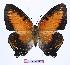 (Charaxes zingha - BC-EV0961)  @15 [ ] Unspecified (default): All Rights Reserved  Unspecified Unspecified