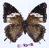 (Charaxes cedreatis kivu01 - BC-EV0962)  @15 [ ] Unspecified (default): All Rights Reserved  Unspecified Unspecified