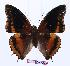 (Charaxes eudoxus - BC-EV0963)  @14 [ ] Unspecified (default): All Rights Reserved  Unspecified Unspecified