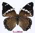 (Charaxes numenes aequatorialis - BC-EV0968)  @14 [ ] Unspecified (default): All Rights Reserved  Unspecified Unspecified