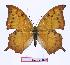(Charaxes paphianus subpallida - BC-EV0973)  @14 [ ] Unspecified (default): All Rights Reserved  Unspecified Unspecified