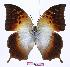 (Charaxes acuminatus kigezia - BC-EV0974)  @15 [ ] Unspecified (default): All Rights Reserved  Unspecified Unspecified