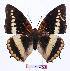 (Charaxes lucretius maximus - BC-EV0976)  @14 [ ] Unspecified (default): All Rights Reserved  Unspecified Unspecified
