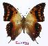 (Charaxes candiope - BC-EV0982)  @15 [ ] Unspecified (default): All Rights Reserved  Unspecified Unspecified