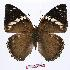 (Charaxes bipunctatus ugandensis - BC-EV0983)  @14 [ ] Unspecified (default): All Rights Reserved  Unspecified Unspecified