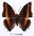 (Charaxes richelmanni ducarmei - BC-EV0985)  @15 [ ] Unspecified (default): All Rights Reserved  Unspecified Unspecified