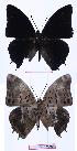 (Charaxes etheocles sp - BC-EV0988)  @13 [ ] Unspecified (default): All Rights Reserved  Unspecified Unspecified