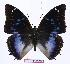 (Charaxes xiphares burgessi - BC-EV0992)  @14 [ ] Unspecified (default): All Rights Reserved  Unspecified Unspecified
