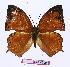(Charaxes pleione bebra - BC-EV0998)  @13 [ ] Unspecified (default): All Rights Reserved  Unspecified Unspecified