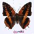 (Charaxes cynthia kinduana - BC-EV0999)  @14 [ ] Unspecified (default): All Rights Reserved  Unspecified Unspecified
