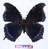 (Charaxes lycurgus bernardiana - BC-EV1004)  @14 [ ] Unspecified (default): All Rights Reserved  Unspecified Unspecified