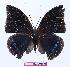 (Charaxes zelica depuncta - BC-EV1005)  @13 [ ] Unspecified (default): All Rights Reserved  Unspecified Unspecified