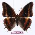 (Charaxes richelmanni - BC-EV1012)  @13 [ ] Unspecified (default): All Rights Reserved  Unspecified Unspecified