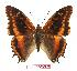 (Charaxes eudoxus musakensis - BC-EV1024)  @14 [ ] Unspecified (default): All Rights Reserved  Unspecified Unspecified