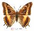(Charaxes eudoxus musakensis - BC-EV1025)  @14 [ ] Unspecified (default): All Rights Reserved  Unspecified Unspecified