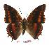 (Charaxes eudoxus biokoensis - BC-EV1026)  @14 [ ] Unspecified (default): All Rights Reserved  Unspecified Unspecified