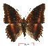 (Charaxes eudoxus biokoensis - BC-EV1027)  @14 [ ] Unspecified (default): All Rights Reserved  Unspecified Unspecified