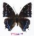 (Charaxes etesipe - BC-EV1051)  @15 [ ] Unspecified (default): All Rights Reserved  Unspecified Unspecified