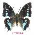 (Charaxes penricei - BC-EV1055)  @15 [ ] Unspecified (default): All Rights Reserved  Unspecified Unspecified