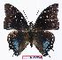 (Charaxes etesipe pemba - BC-EV1062)  @13 [ ] Unspecified (default): All Rights Reserved  Unspecified Unspecified