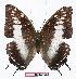 (Charaxes etesipe pemba - BC-EV1063)  @13 [ ] Unspecified (default): All Rights Reserved  Unspecified Unspecified
