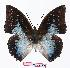 (Charaxes pythodoris - BC-EV1066)  @15 [ ] Unspecified (default): All Rights Reserved  Unspecified Unspecified