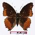 (Charaxes anticlea - BC-EV1068)  @14 [ ] Unspecified (default): All Rights Reserved  Unspecified Unspecified