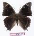 (Charaxes fulgurata - BC-EV1110)  @15 [ ] Unspecified (default): All Rights Reserved  Unspecified Unspecified