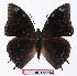 (Charaxes fulgurata - BC-EV1114)  @15 [ ] Unspecified (default): All Rights Reserved  Unspecified Unspecified