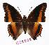(Charaxes eudoxus eudoxus - BC-EV1119)  @14 [ ] Unspecified (default): All Rights Reserved  Unspecified Unspecified