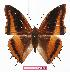 (Charaxes eudoxus zambiae - BC-EV1123)  @14 [ ] Unspecified (default): All Rights Reserved  Unspecified Unspecified