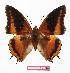 (Charaxes eudoxus mechowi - BC-EV1128)  @15 [ ] Unspecified (default): All Rights Reserved  Unspecified Unspecified