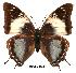 (Charaxes galawadiwosi - BC-EV0001)  @14 [ ] Unspecified (default): All Rights Reserved  Unspecified Unspecified