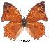 (Charaxes pleione delvauxi - BC-EV0003)  @13 [ ] Unspecified (default): All Rights Reserved  Unspecified Unspecified