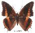 (Charaxes eudoxus lequexi - BC-EV0010)  @14 [ ] Unspecified (default): All Rights Reserved  Unspecified Unspecified