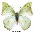 (Charaxes montis - BC-EV0011)  @13 [ ] Unspecified (default): All Rights Reserved  Unspecified Unspecified