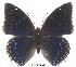 (Charaxes tiridates tiridatinus - BC-EV0013)  @14 [ ] Unspecified (default): All Rights Reserved  Unspecified Unspecified