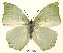 (Charaxes schiltzei - BC-EV0034)  @14 [ ] Unspecified (default): All Rights Reserved  Unspecified Unspecified