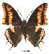 (Charaxes legeri - BC-EV0041)  @14 [ ] Unspecified (default): All Rights Reserved  Unspecified Unspecified