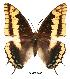 (Charaxes legeri - BC-EV0042)  @14 [ ] Unspecified (default): All Rights Reserved  Unspecified Unspecified