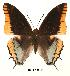 (Charaxes jasius - BC-EV0043)  @14 [ ] Unspecified (default): All Rights Reserved  Unspecified Unspecified