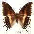 (Charaxes hansali hansali - BC-EV0054)  @14 [ ] Unspecified (default): All Rights Reserved  Unspecified Unspecified