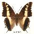 (Charaxes hansali hansali - BC-EV0055)  @14 [ ] Unspecified (default): All Rights Reserved  Unspecified Unspecified