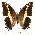 (Charaxes hansali baringana - BC-EV0056)  @14 [ ] Unspecified (default): All Rights Reserved  Unspecified Unspecified