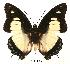 (Charaxes nobilis nobilis - BC-EV0057)  @14 [ ] Unspecified (default): All Rights Reserved  Unspecified Unspecified