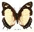 (Charaxes nobilis nobilis - BC-EV0058)  @14 [ ] Unspecified (default): All Rights Reserved  Unspecified Unspecified